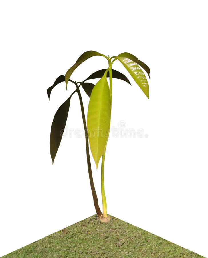 Mangofruchtsämling lizenzfreies stockfoto