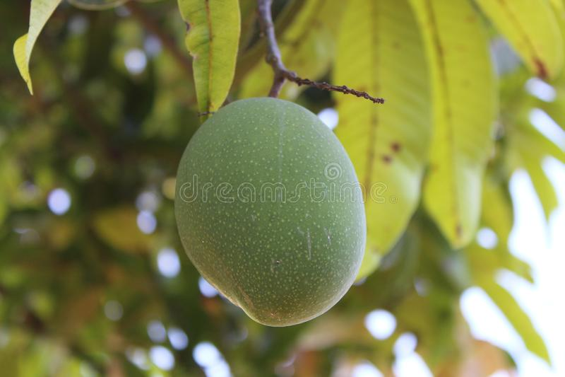 Mangofruit in boom royalty-vrije stock afbeelding