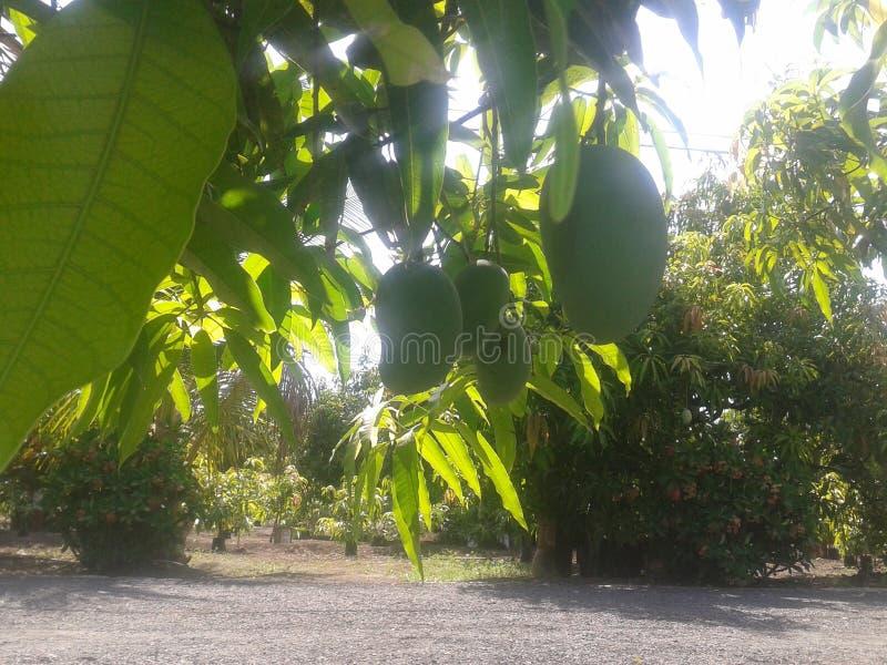 Mangolantgård royaltyfri bild