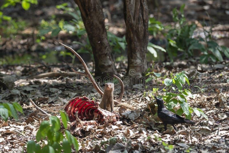 Mangoose som matar p? byte p? maharashtraen f?r Tadoba tigerreserv, Indien arkivbild