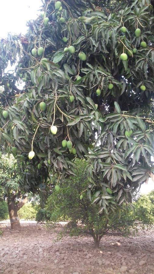 mangopflaume lizenzfreie stockbilder