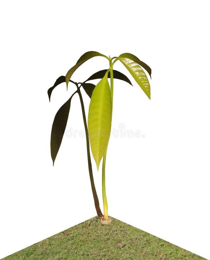mangoplanta royaltyfri foto