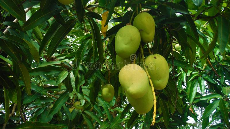 Mangos hanging from parent tree. Fresh ripe mangos hanging from parent tree at Tiaba hill looking delicious and eye catching royalty free stock photo