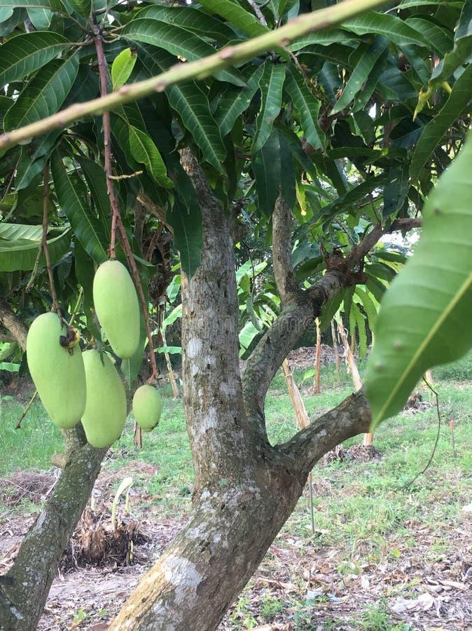 Mangos tree. In the garden royalty free stock photography