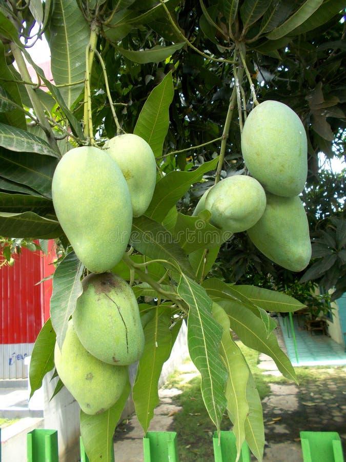 Mangos at the tree. Green mangos hanging at the tree royalty free stock photo