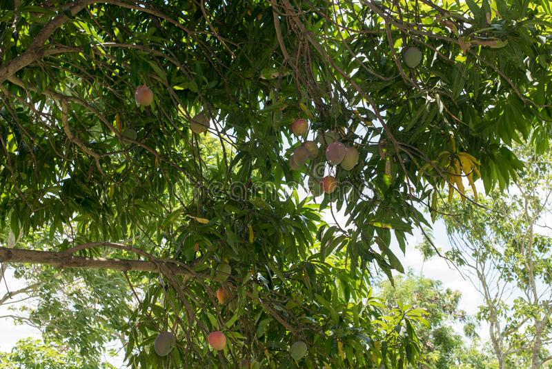 Mangos on tree. Several ripe mangos hanging from large mango tree in south america stock photos