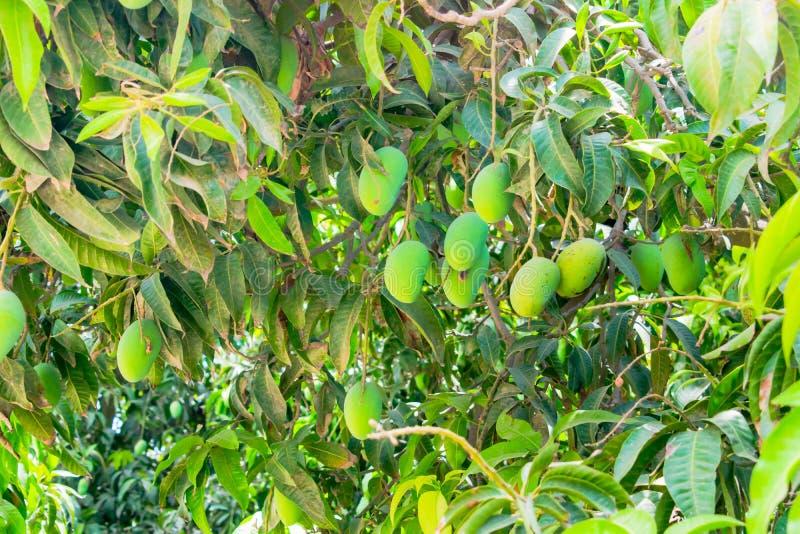 Mangos verdes que cuelgan en un árbol de mango fotos de archivo