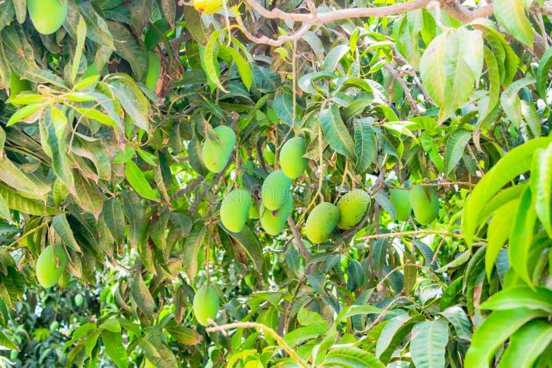 Mangos verdes que cuelgan en un árbol de mango fotos de archivo libres de regalías