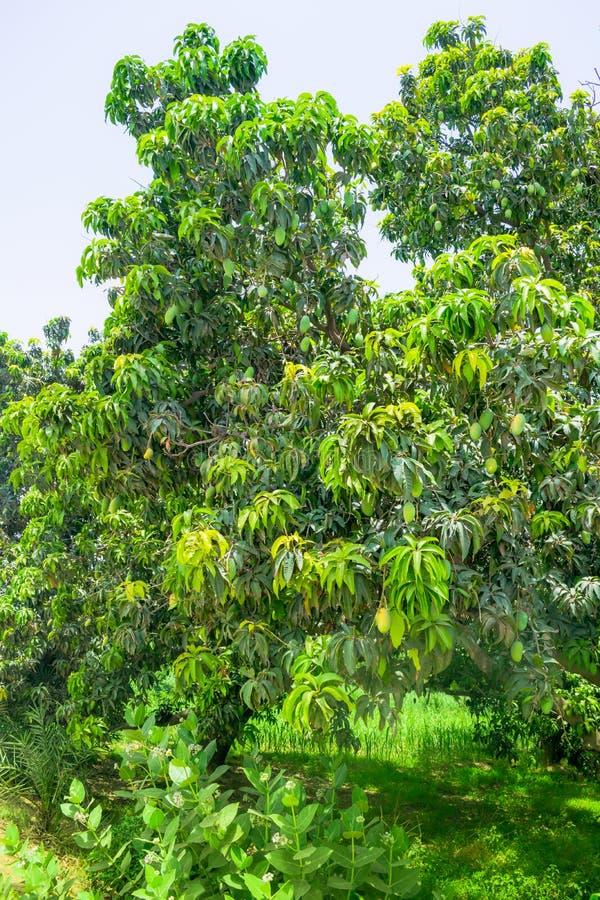 Mangos verdes que cuelgan en un árbol de mango imágenes de archivo libres de regalías