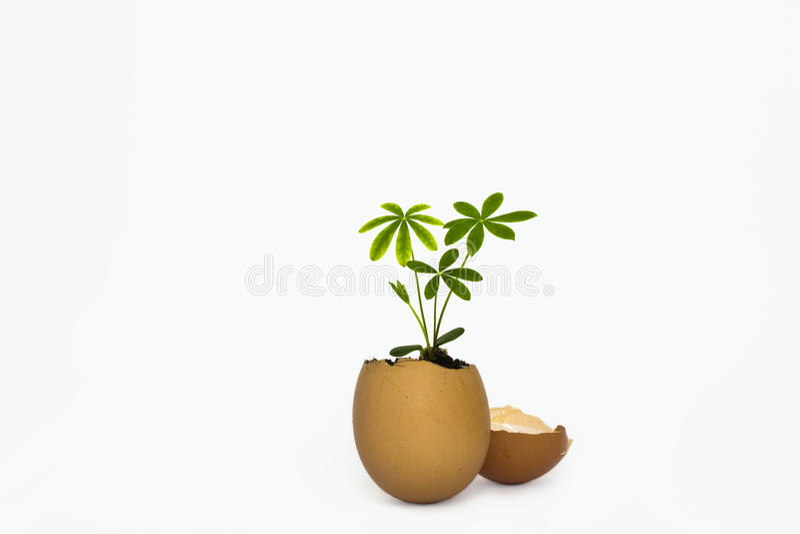 Mangospruit van ei stock afbeelding