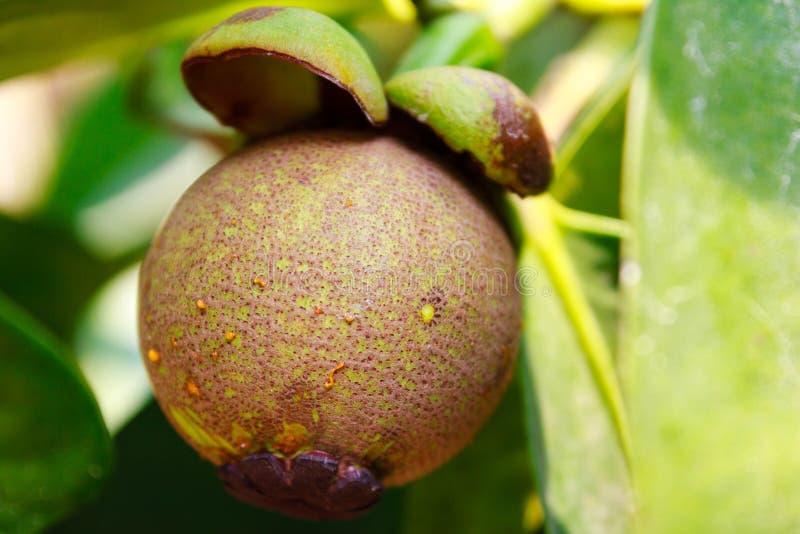 Mangostán joven en árbol fotografía de archivo