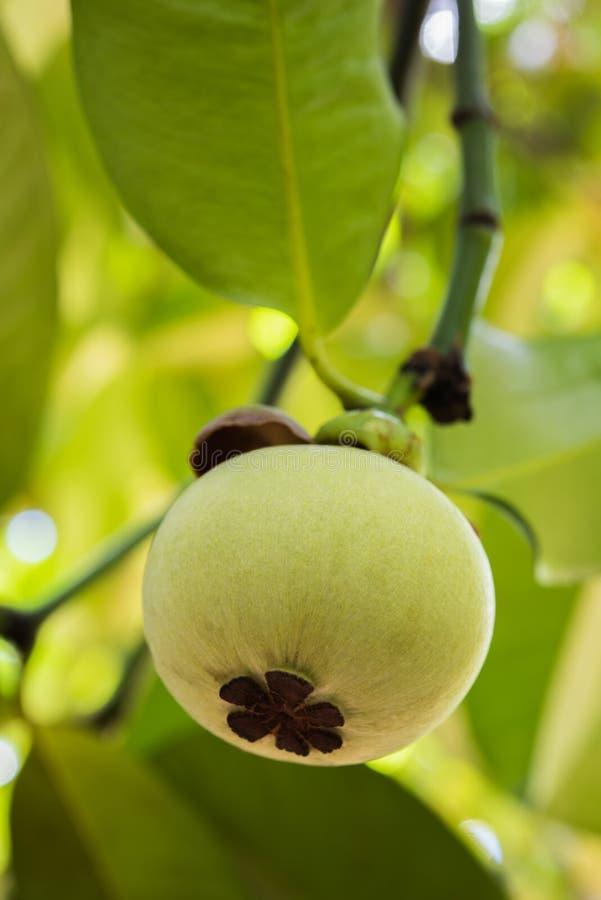 Mangostán joven en árbol fotografía de archivo libre de regalías