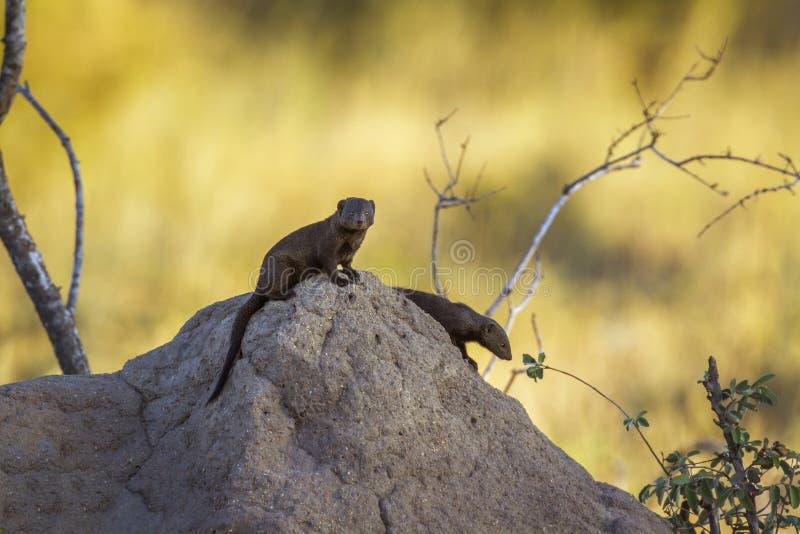 Mangosta enana com?n en el parque nacional de Kruger, Sur?frica fotos de archivo libres de regalías