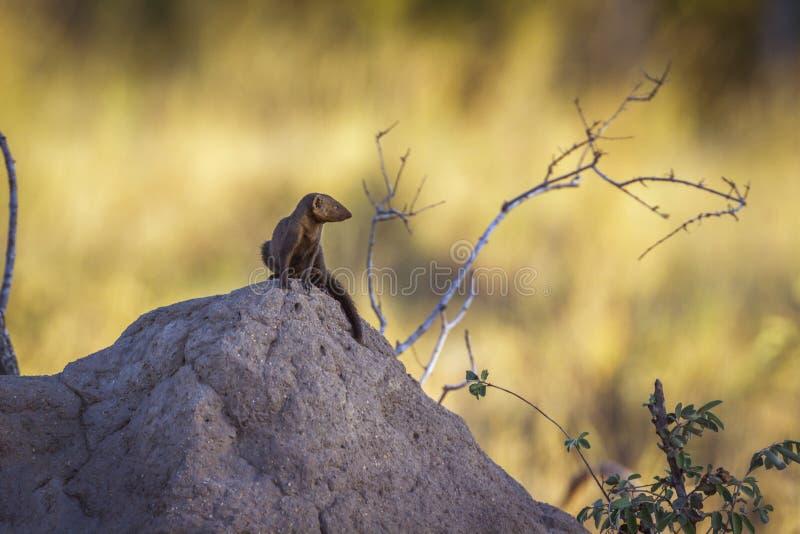 Mangosta enana com?n en el parque nacional de Kruger, Sur?frica imagenes de archivo