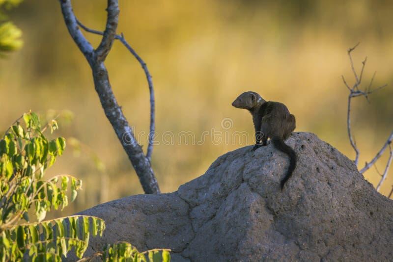 Mangosta enana com?n en el parque nacional de Kruger, Sur?frica fotos de archivo