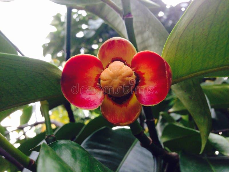 Mangostanfrucht-Blume stockfotos