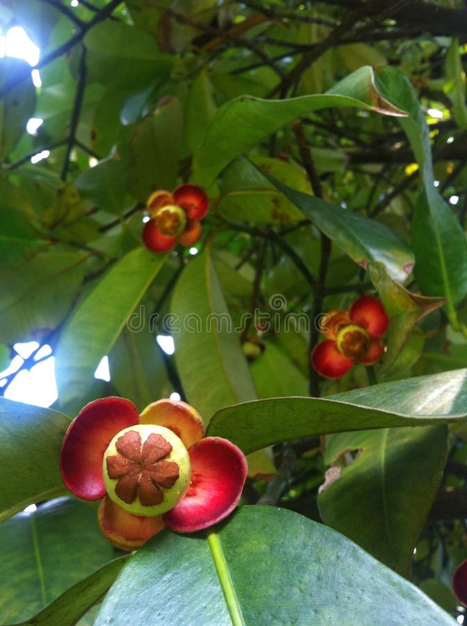 Mangostanfruchtbaum stockfotos
