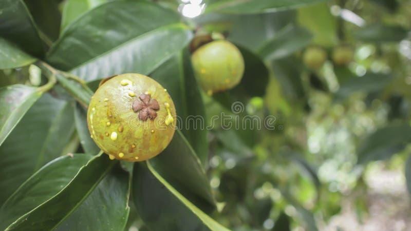 Mangostanfruchtfruchtfall auf dem Baum lizenzfreie stockbilder