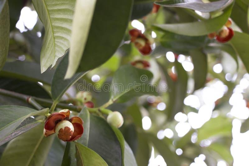 Mangosteen λουλούδι στοκ εικόνες