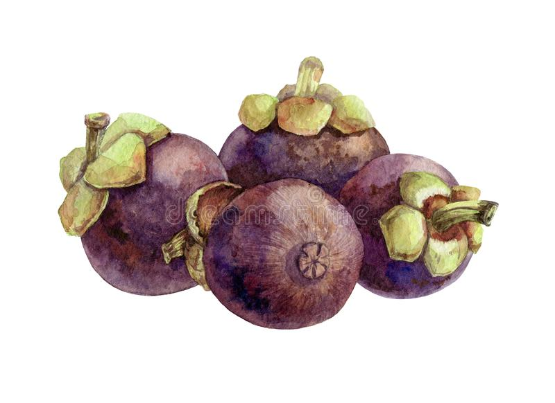 Mangosteen exotic fruit watercolor illustration. A group of tropical delicious organic Garcinia mangostana fruits. Healthy vegetar royalty free stock photo