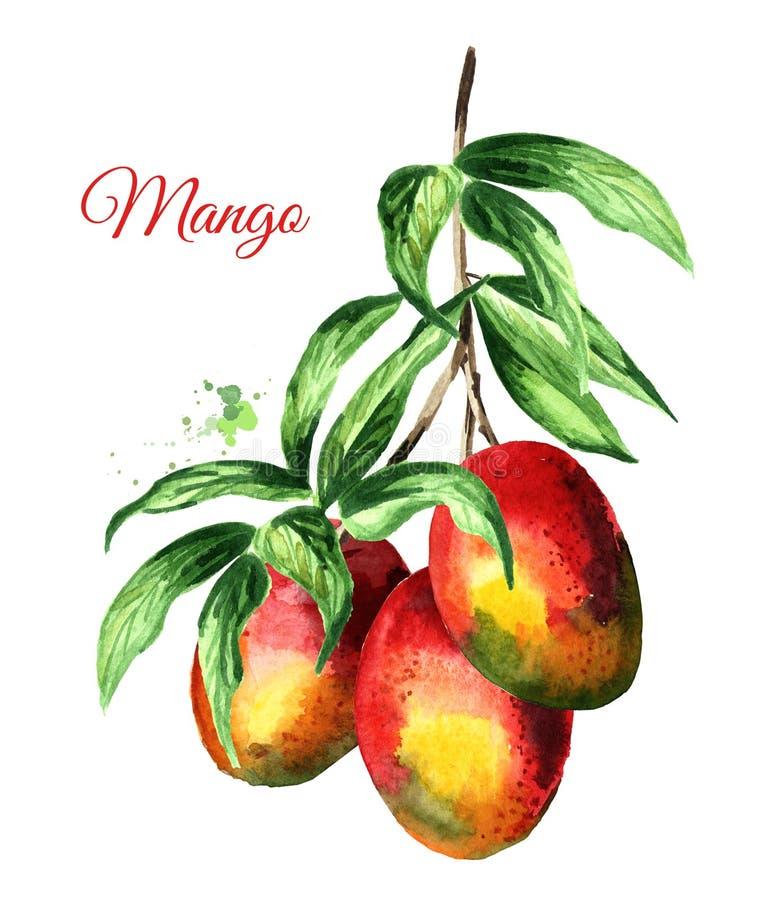 Mangotak met groene bladeren en mangovruchten Waterverfhand getrokken die illustratie op witte achtergrond wordt geïsoleerd royalty-vrije illustratie
