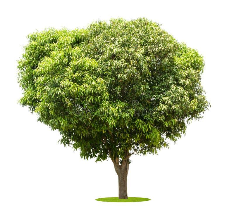 Mangoträd som isoleras på vit royaltyfri bild
