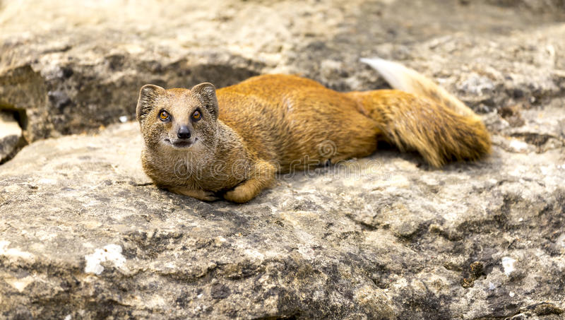 Mangouste se trouvant sur une roche dans un zoo images stock