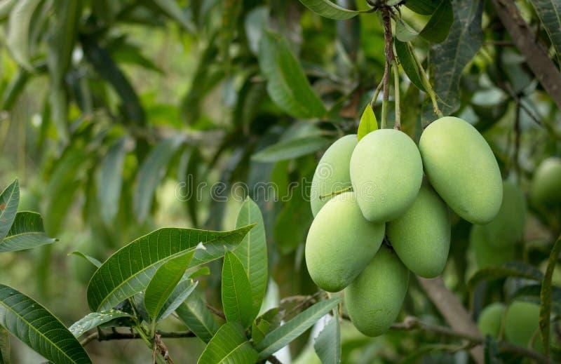 Mangowa owoc na mangowym drzewie fotografia stock