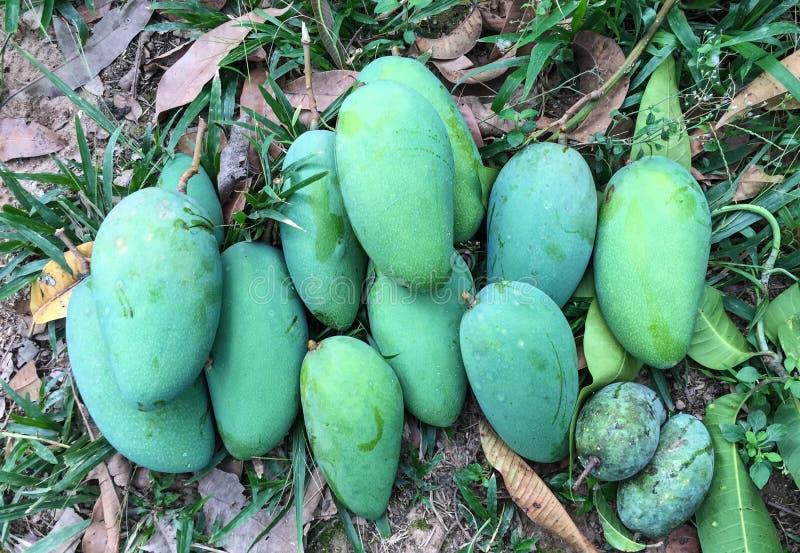 Mangowe owoc fotografia royalty free
