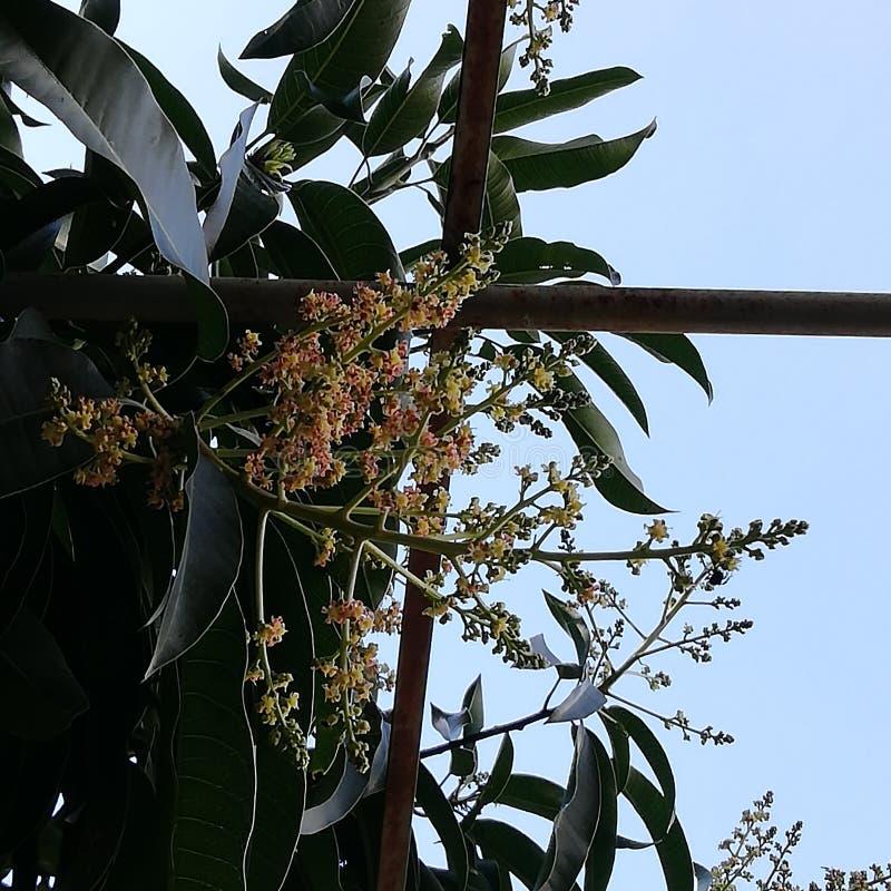 Mangowego drzewa dmuchania kwiaty fotografia royalty free