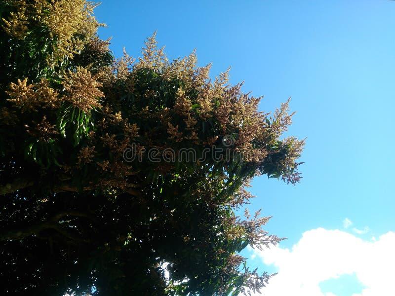 Mangowego drzewa kwiaty obrazy stock