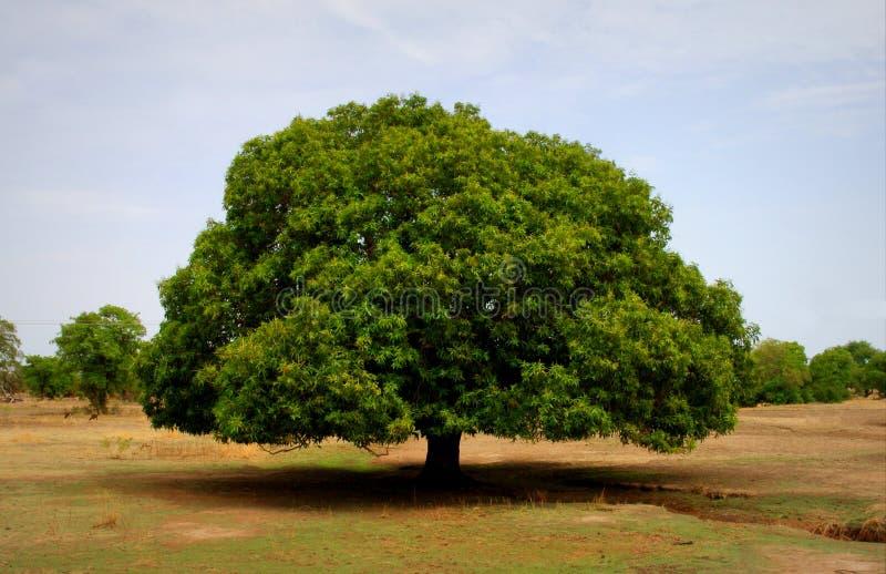 Mangowego drzewa pozycja w polu w Ghana zdjęcia royalty free