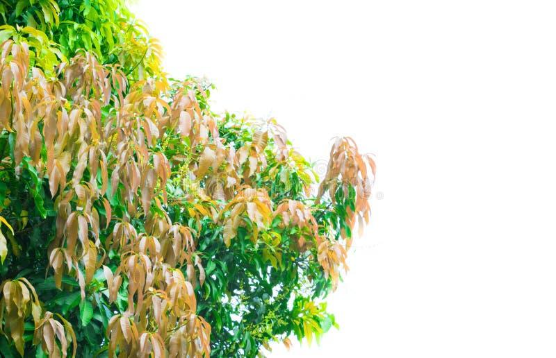 Mangowego drzewa zieleni powierzchni i liścia światła liści piękny tło z kopii przestrzenią dodaje tekst na białym tle obraz royalty free