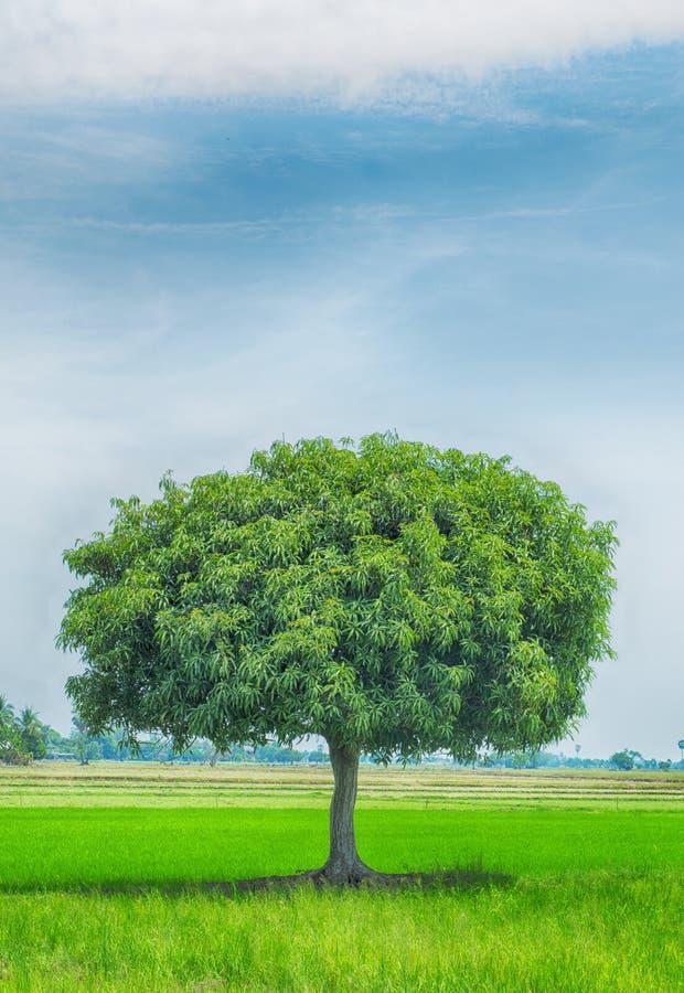 Mangowy drzewo z niebem chmurnym dla natur tło obrazy stock