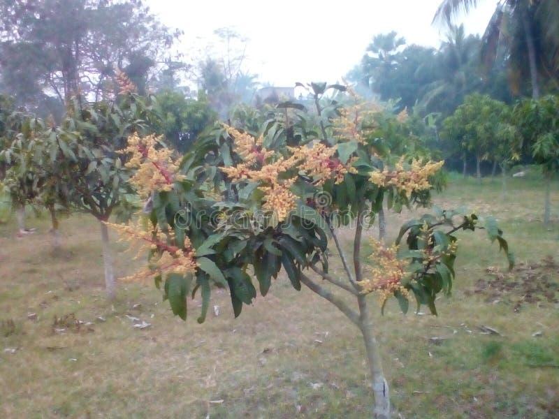 Mangowy kwiat obrazy stock