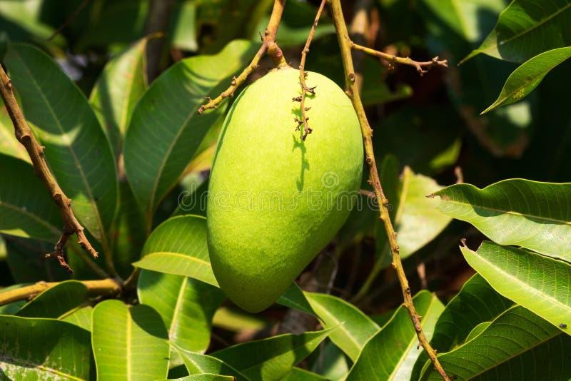 Mangowy Owocowy drzewo zdjęcie royalty free