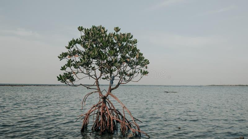 Mangroove à l'océan photo libre de droits