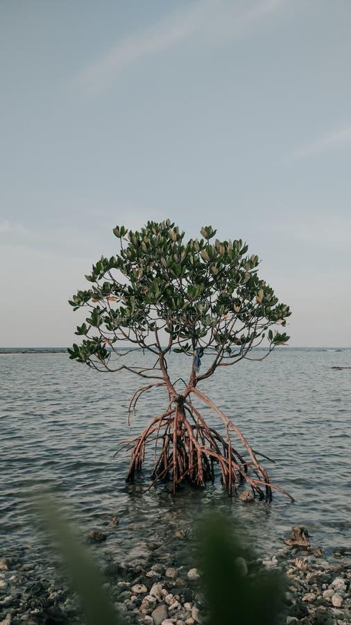 Mangroove à l'océan photos stock