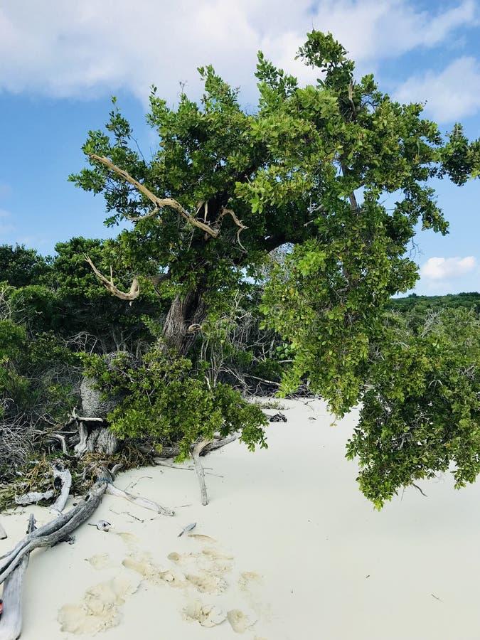 Mangrovar i Bahamas arkivbild