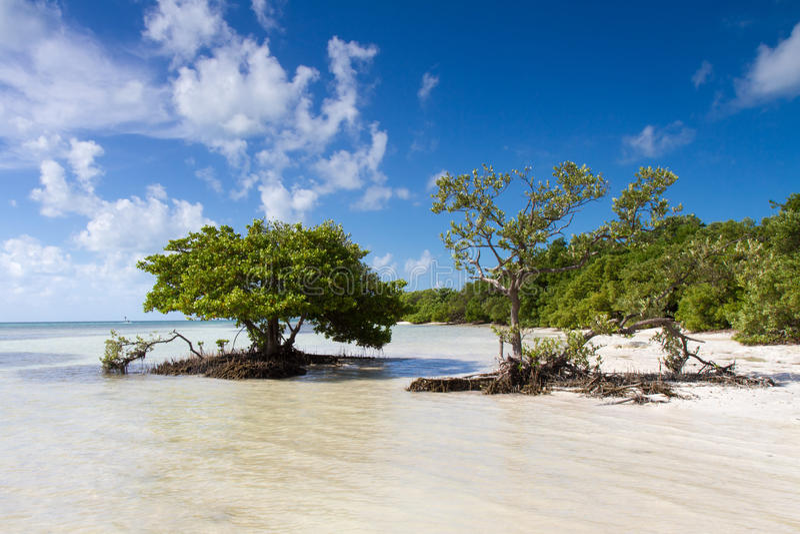 Mangrovar på en strand i de Florida tangenterna arkivbilder