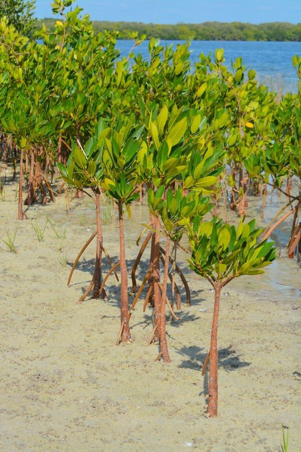 Mangrovar på Tampa Bay, Florida royaltyfria bilder