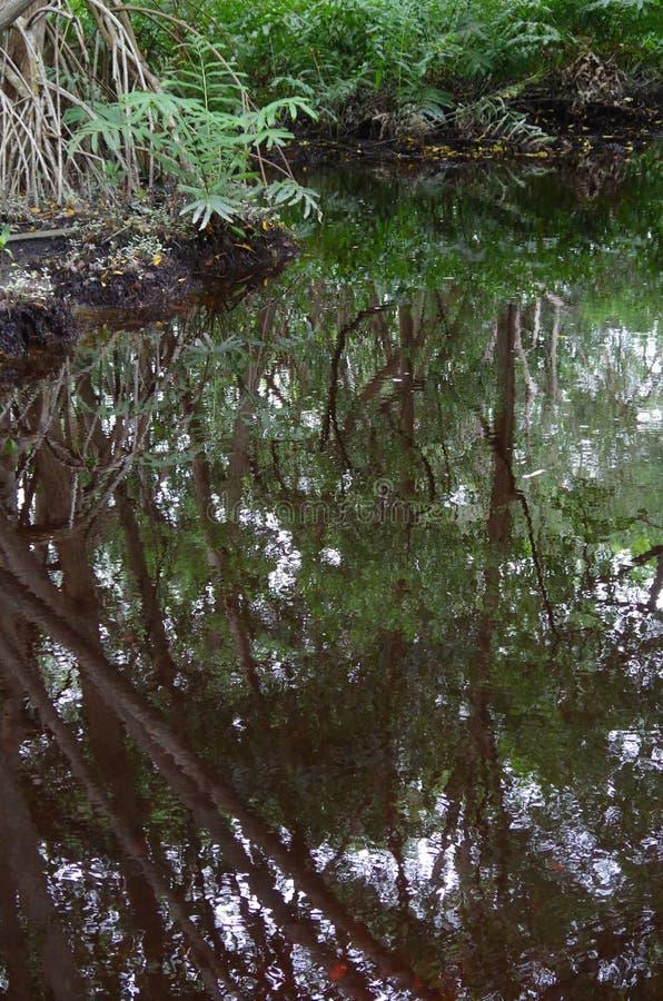 Mangrovar reflekterade i vattnet arkivfoton