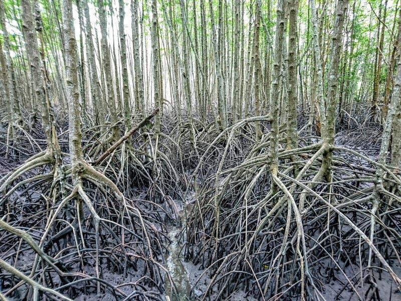mangrove imagem de stock
