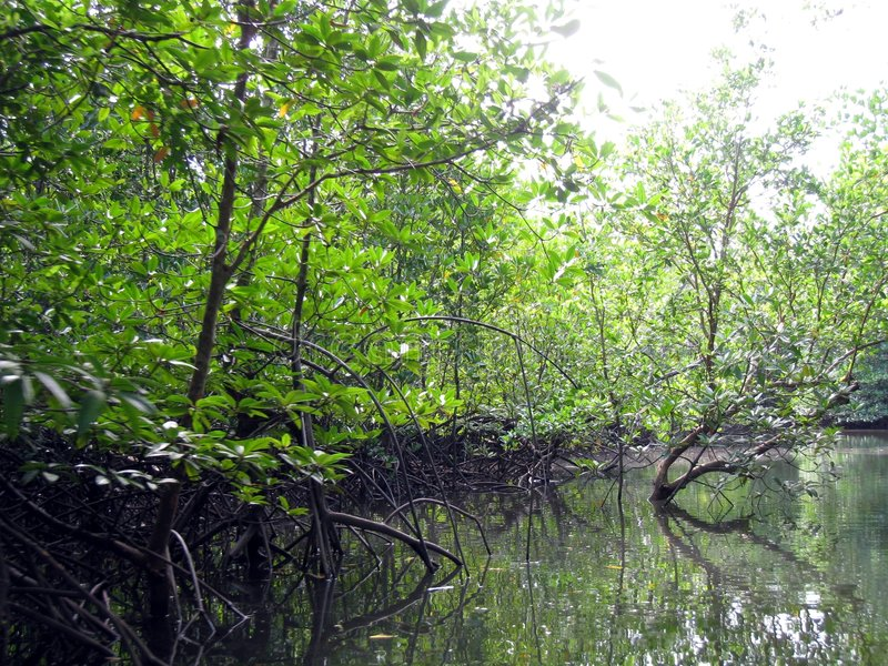 Mangrove 3 stock foto's