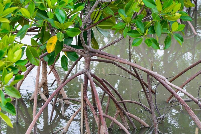 mangrove royalty-vrije stock foto