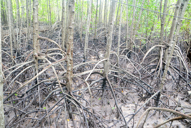 Mangrove arial wortel stock fotografie