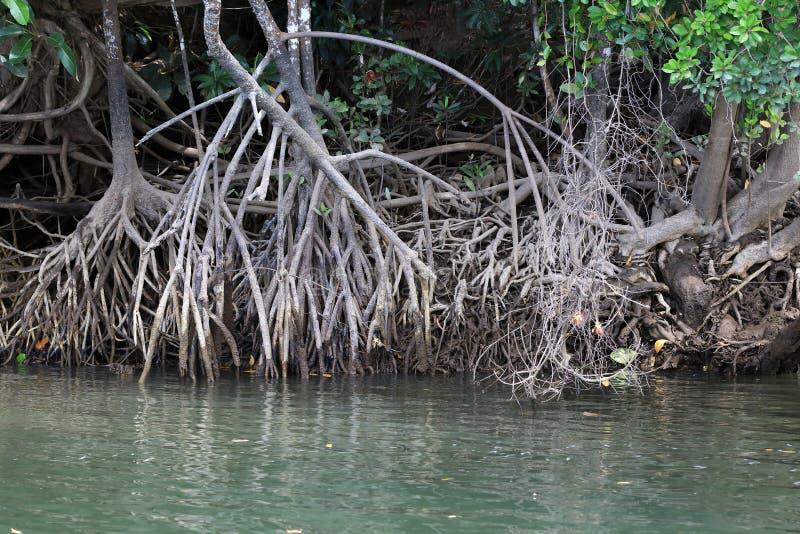 Mangrove bomen aan de kust van de Daintree royalty-vrije stock foto