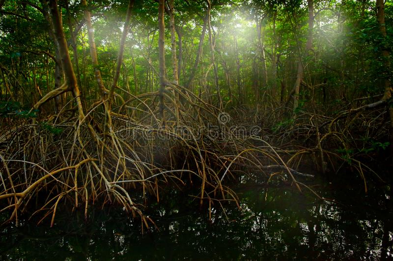 Mangrove in Caroni Swamp and the Bird Sanctuary, home to Trinidad and Tobago`s Scarlet Ibis bird. Mistic forest landscape from Ca. Ribbean. Holiday in Central royalty free stock images