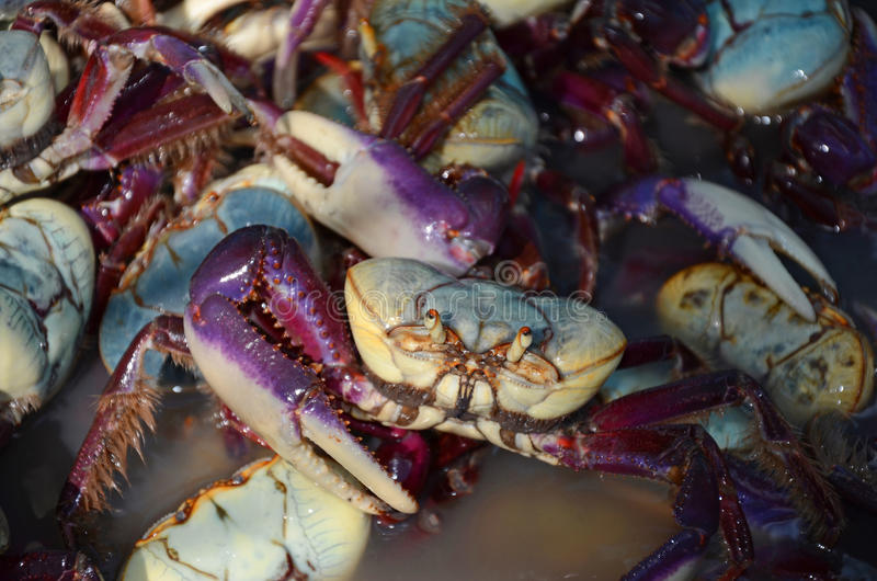 Download Mangrove crab stock photo. Image of wetland, cordatus - 27961270