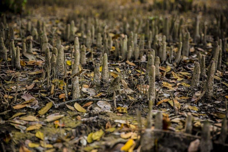Mangrove deep in the Sundarban in bangladesh. royalty free stock photo